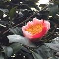写真: 肥後椿1 咲き始め