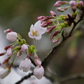サクラ 21日(祝)/大阪/天王寺公園