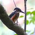 カワセミ幼鳥ちゃん