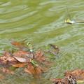 写真: 連結産卵 ギンヤンマ(大阪/城北公園)