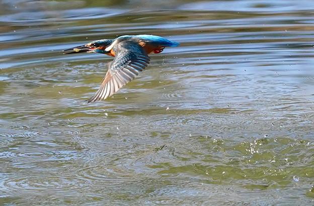 お魚ゲットで飛行