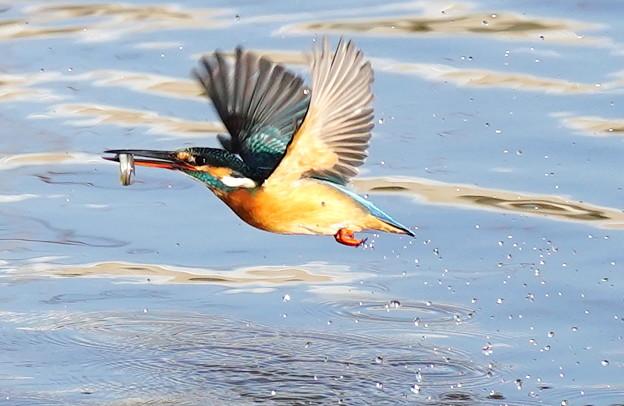 お魚ゲットで飛翔す