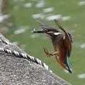 ◎お魚ゲットなカワセミ幼鳥ちゃん、かなり小さい獲物だけど、、