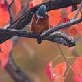 Photos: 下方注視なカワセミくん 大阪/吹田千里 11月21日
