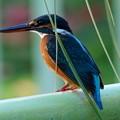 ◎◎◎ザ・カワセミ The Kingfisher