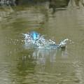 Photos: 水中戦にもつれ込むカワセミちゃんたち