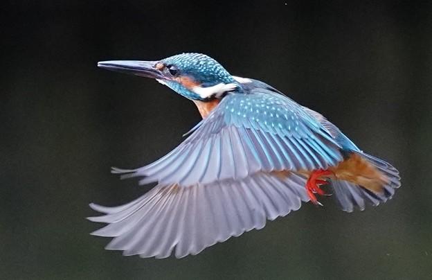 Photos: ◎◎鋼の光沢のようなその羽は美