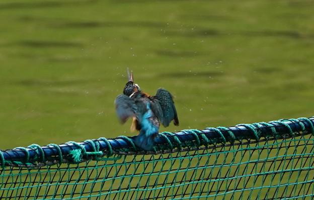 網柵のカワセミくん