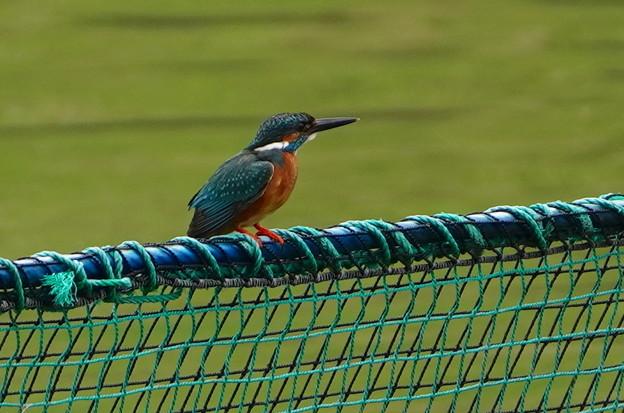 網柵にカワセミくん何をするのか