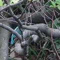枝にカワセミ幼鳥ちゃん 大阪/豊中千里
