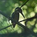 枝葉の向こうにカワセミ幼鳥ちゃん
