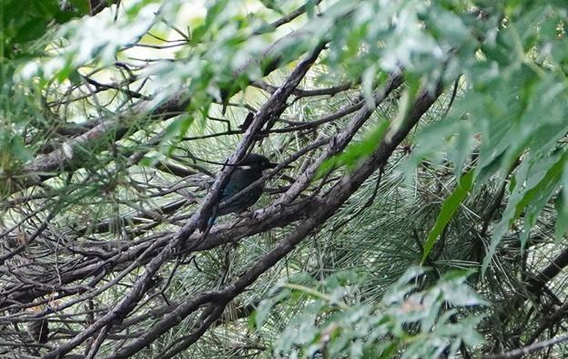 枝にカワセミちゃん
