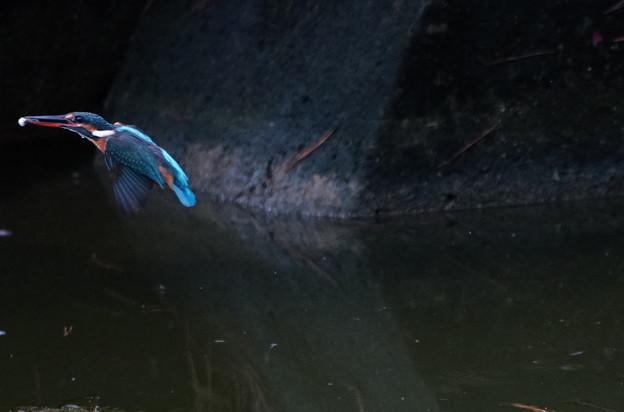 小魚ゲットなカワセミちゃん