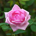 薔薇   大阪/長居公園長居植物園
