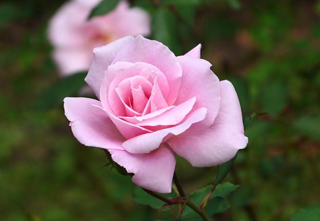薔薇   大阪/長居植物園