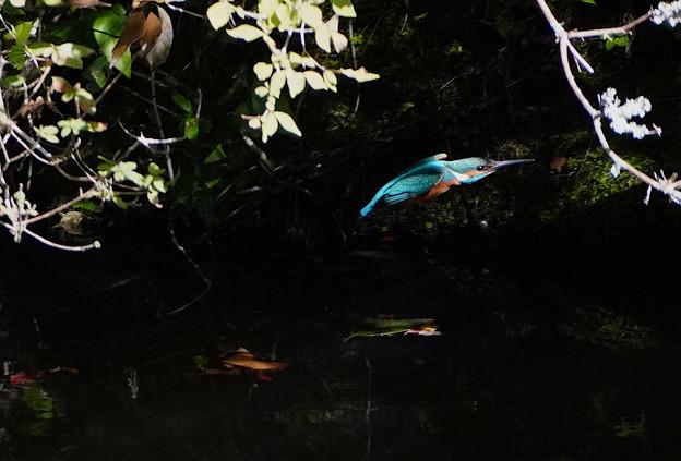 飛行すカワセミくん♂  神戸市立森林植物園