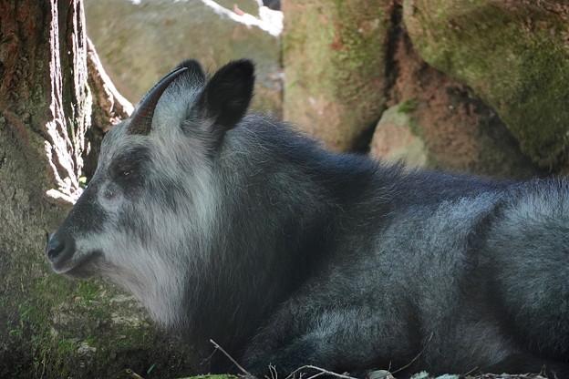ニホンカモシカ(特別天然記念物)神戸森林植物園