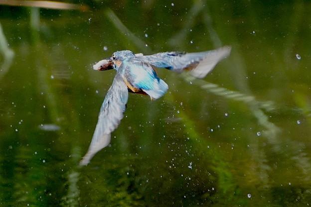 お魚ゲットなカワセミくん