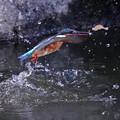 お魚ゲットなカワセミちゃん 大阪/長居