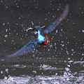 Photos: お魚ゲットで飛び去りな