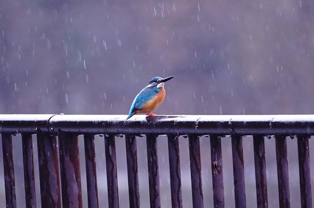 Photos: 雨中、鉄柵にカワセミくん♂   大阪/吹田山田
