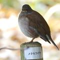 Photos: シロハラ   大阪/吹田・山田西公園