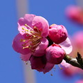 Photos: 梅林   大阪/長居植物園