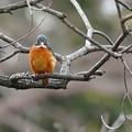 枝にカワセミくん♂