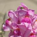 Photos: ただいま花壇で真っ盛り~