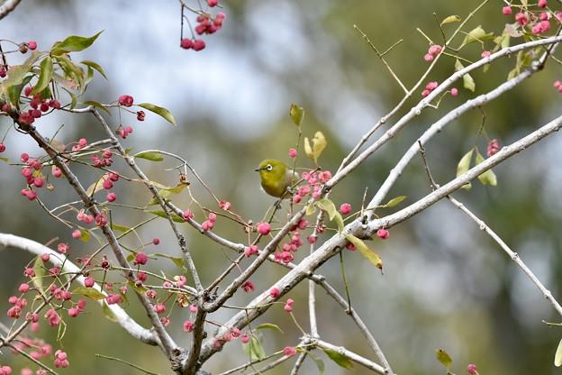 マユミの木にて。
