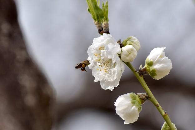 桃の花が咲き始めました♪