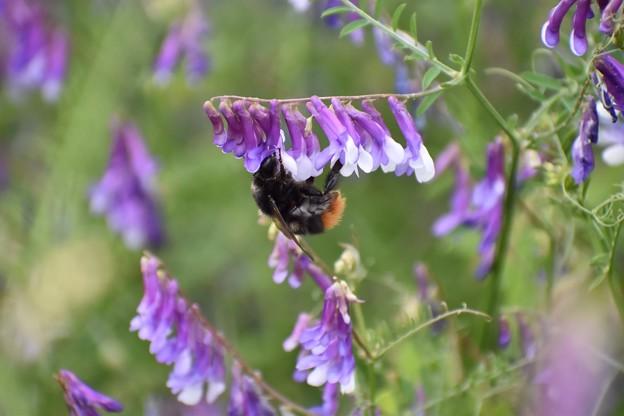 クマバチ(?)も忙しい、忙しい…