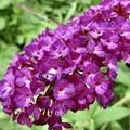 蝶を呼ぶ花…