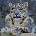 Photos: Snow Leopard