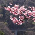 やっぱり桜かな