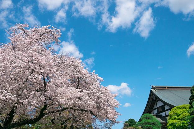 お寺と桜と青い空