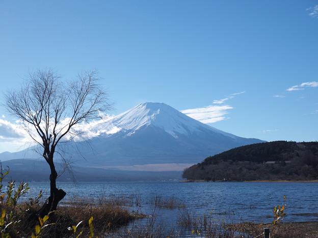 老木と富士(再アップ)