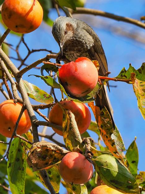 カキヒヨ(柿の木は続く・・・)