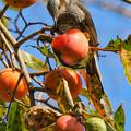 Photos: カキヒヨ(柿の木は続く・・・)