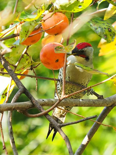 カキゲラ(柿の木は続く・・・)