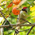 Photos: カキゲラ(柿の木は続く・・・)