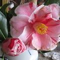 写真: 八重で斑入りピンクで大輪の