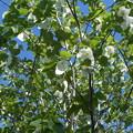 写真: ハンカチの樹の花が満開