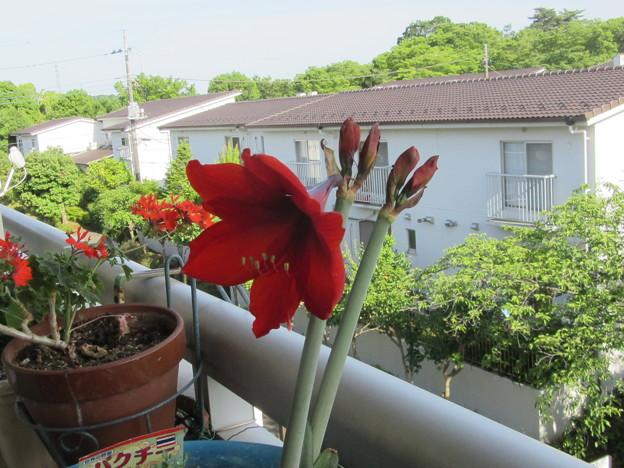 アマリリス 一輪開花