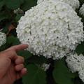 写真: でかくて丸い白いアジサイ
