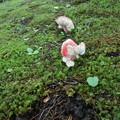 写真: 走りのニオイコベニタケ