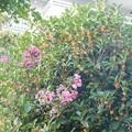 金木犀が咲き出して