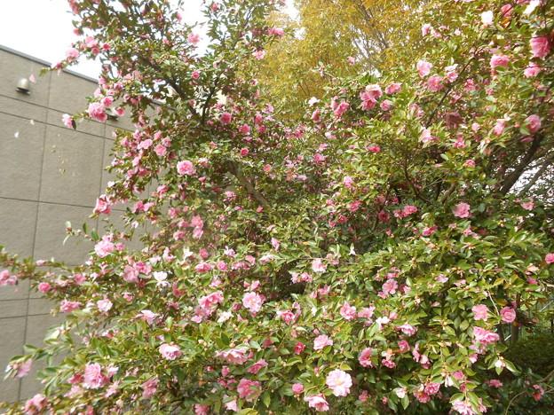 山茶花ピンク八重満開