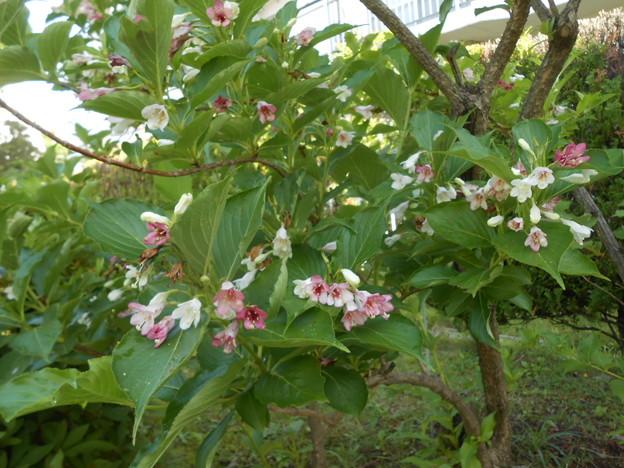 ハコネウツギ咲き始め