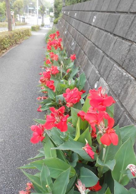 毎年見事に咲かせています